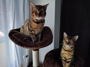 amateur photo My 6 month old bengals. Meet Yuuki and Mirai.