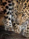 amateur photo A photogenic leopard