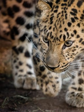 amateur photo A photogenic leopard