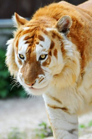 amateur photo A very rare golden tiger. it is believed that only 30 of them exist