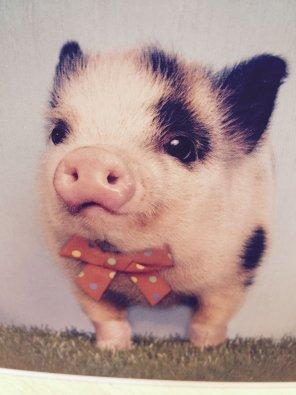 amateur photo cute party piglet, adorable.....