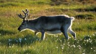 amateur photo Meet the adorable and short legged Svalbard reindeer!